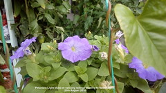 Petunias (Light blue) on balcony railings starting to flower again 20th August 2018 (D@viD_2.011) Tags: petunias light blue balcony railings starting flower again 20th august 2018