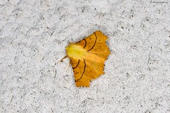 Canary-shouldered Thorn (Ennomos alniaria), male (Hoppy1951) Tags: gilwern monmouthshire wales gbr allanhopkins hoppy1951 uk mygarden ennomosalniaria male lepidoptera ennominae canaryshoulderedthorn moth