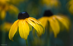 Yellow coneflower (He Ro.) Tags: 2018 closeup macrophotography yellow yellowconeflower echinacea sonnenhut sommer summer blume flower homepatch ngc npc