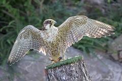 22.Halcón sagre. (Manupastor43) Tags: verano aves españa animales g2 150600mm tamron 200d eos canon