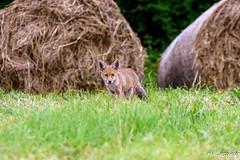 Vulpes vulpes (Shoot Enraw) Tags: animalier canidé renardeau sauvage renardroux nature vulpesvulpes goupil nikond7200 7003000mmf4056