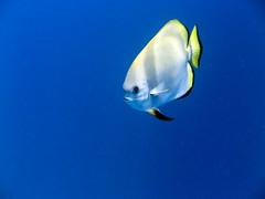 Platax boersii (sharksfin) Tags: sudan redsea rotesmeer ocean marine life wild sea diving marinelife meer reef coral riff deepsouth