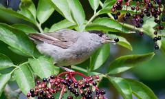 Elderberry loving Blackcap (Male) - Taken at Barnwell Country Park, Nr. Oundle, Northants. UK (Ian J Hicks) Tags: