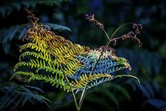 fern (Ronnie Da) Tags: national nature fern colourful wales llandeilo dinefwr canon canon7d carmarthenshire 2018