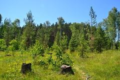 Birch stumps (МирославСтаменов) Tags: russia tarusa felling birch stump