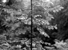 Wet Tree in Rain (Hyons Wood) (Jonathan Carr) Tags: rain rural north east ruralnortheast leaves blackwhite monochome mediumformat mamiya645e landscape tree ancientwoodland bw tmax400