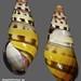 amphidromus sp2 indonesie timor soe 35mm1