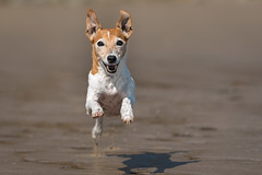 Tom.... (Rory Pearce) Tags: jackrussel terrier dog fast