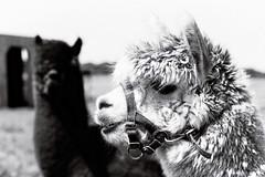 imm009_10A (A Clockwork Symphony) Tags: alpaca fp4plus ilford canon eos5 monochrome blackwhite