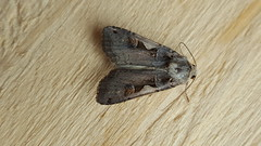 20180812_152140 (Paul Young1) Tags: setaceoushebrewcharacter xestiacnigrum noctuidae 1 one single moth moths animal animals insect insects insecta arthropod arthropods arthropoda lepidoptera nature wild wildlife uk british britain perched perching close study imago unitedkingdom closeup top topview openwings