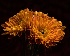 Golden Mums 1115 (Tjerger) Tags: nature flower flowers bloom blooms blooming plant natural flora floral blackbackground portrait beautiful beauty black orange green fall wisconsin macro closeup mums golden mum
