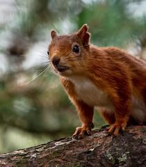 Red Squirrel (peterbaird100) Tags: redsquirrel