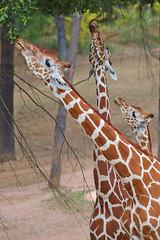 EOS 6D Mark II_1828 (Dave Melling) Tags: zoo reticulatedgiraffe brno somaligiraffe giraffacamelopardalisreticulata giraffe