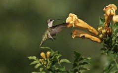 Landing Gear Down (Diane Marshman) Tags: rubythroated hummingbird small bird red throat green head back dark wings white feathers long black beak summer nature wildlife pa pennsylvania juvie juvenile action motion flying yellow trumpet vine bush shrub large flowers blooms blooming blossom leaves