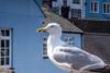 Herring Gull on the scrounge