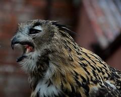 Eagle Owl (moniquerebanks) Tags: eagleowl owl bird birdofpreycentre uil roofvogel vogel eule buho hibou gufo wildlife outdoors cumbria askham uk closeup nikond7100 feathers beak natureatitsbest europeaneagleowl