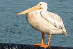 Teenaged Pelican Poling (MelRoseJ) Tags: sanrafael california unitedstates us lasgallinas birds nature northerncalifornia bayarea sonyalpha sony sonyilca77m2 sal70200g pelican