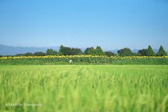 Sunflower field of Zama (_TAKATEN_) Tags: sony alpha a7rii a7rm2 sigma mc11 sunflower flower
