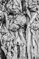Bark (G Reeves) Tags: nikon nikond810 garyreeves bw blackwhite blackandwhite monochrome closeups brighton sussex eastsussex southcoast abstract art outdoor thegrange rottingdean