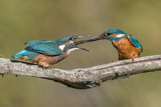 Male Kingfisher feeds a baby / Männlicher Eisvogel füttert sein Junges das heute zum ersten mal das Nest verlassen hat.