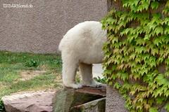 Vera - Charlotte - Eisbären - Tiergarten Nürnberg (ElaNuernberg) Tags: eisbärvera eisbärcharlottealiaslottchen tiergartennürnberg nurembergzoo zoo zooanimals zootiere eisbär polarbear ursusmaritimus ourspolaire orsopolare ijsbeer isbjorn jääkaru niedźwiedźpolarny