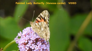 Painted Lady Butterfly (Vanessa cardui) 18-08-2018