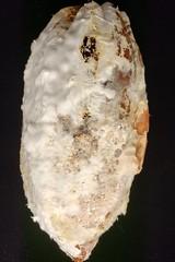 Cacao (Theobroma cacao): Black pod rot (Plant pests and diseases) Tags: cacao theobroma black pod rot phytophthorapalmivora