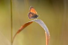 Little butterfly. (agnieszka.a.morawska) Tags: helios helios44m bokehlicious beyondbokeh bkhq macro dof bokeh meadow motyl butterfly