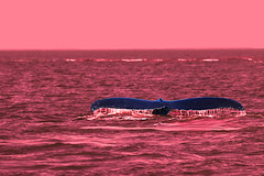 Whale in red (die Augen) Tags: humpback ocean alaska whale red water canon sl2 auke bay