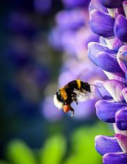 Le vol du bourdon (2) 🐝 (watbled05) Tags: macro fleurs bourdon bokeh effetbokeh insecte lupin extérieur vol pollinisation