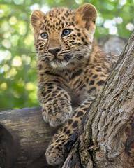 Perched High for a Cub's Eye View (Penny Hyde) Tags: amurleopard babyanimal bigcat cub leopard leopardcub sandiegozoo