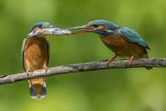 Kingfisher / Eisvogel (@Thomas Neuber) Tags: kingfisher eisvogel avenches switzerland actionshot alcedoatthis natur colorful