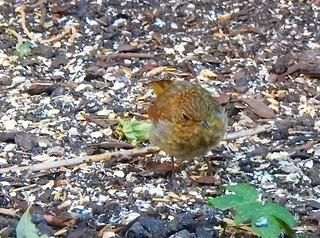 junges Rotkehlchen - young robin