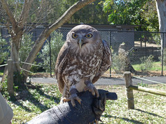 Frogmouth owl (margaretpaul) Tags: lonepinekoalasanctuary australia queensland frogmouthowl frogmouth