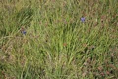 Bloemen tussen heideplanten (Jeroen Kransen) Tags: nederland netherlands drenthe heide ballooërveld balloo geotagged