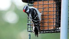 Frozen Woodpecker (blazer8696) Tags: 2018 brookfield ct connecticut dowo downywoodpecker ecw obtusehill picidae piciformes picpub picoides picoidespubescens t2018 tabledeck usa unitedstates bird downy pubescens woodpecker img9549