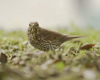 Song Thrush with food - Turdus philomelos