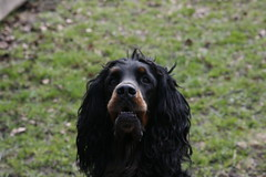Shaggie 095 (reimo.zoober) Tags: gordon setter dog