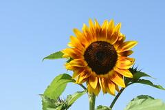 Oostkapelle (Omroep Zeeland) Tags: oostkapelle walcheren bloemen bloemenrand akker akkerland zonnebloem