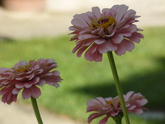 Ζίννια!!  P1050573 (amalia_mar) Tags: 7dwf macro closeup flowers flora fiori fleur zinnia zinnie sundaylights