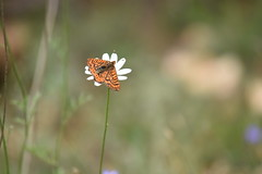 Festival de mariposas (esta_ahi) Tags: planadancosa mariposa papallona butterfly lepidoptera insectos fauna flor flora flores silvestres anoia barcelona spain españa испания euphydryas aurinia euphydryasaurinia nymphalidae melitaeinae melitaeini