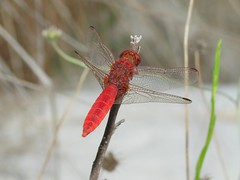 Scarlet Darter (Crocothemis erythraea) (Nick Dobbs) Tags: scarlet darter dragonfly crocothemis erythraea malta insect