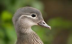 Mandarin duck (PhotoLoonie) Tags: duck mandarinduck bird perchingduck aixgalericulata waterbird waterfowl nature wildlife