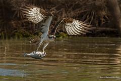 Nice fishy (Earl Reinink) Tags: osprey fish fishing bird animal water reflection predator wildlife noature flight flying wings outdoors earlreinink earl reinink nikon uaidhazdza