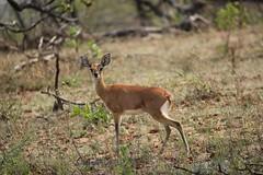 Oribi (Pixi2011) Tags: antelope krugernationalpark wildlife nature africa animals