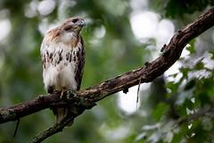 5DSR1901.jpg (rdelonga) Tags: buteojamaicensis redtailedhawk