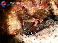 "Kalymnos Diving crab • <a style=""font-size:0.8em;"" href=""http://www.flickr.com/photos/150652762@N02/30189799168/"" target=""_blank"">View on Flickr</a>"