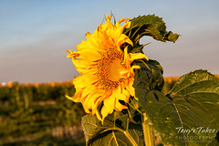 Sunflower in the early morning sun
