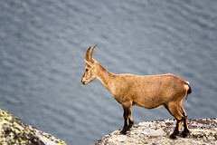 Out of the blue! (fil.nove) Tags: parco animal nature wildlife ibex mammal animalsinthewild horned mountain outdoors rockobject wildernessarea nopeople nationalpark goat brown canon100400ii canon60d wildphotography stambecco camoscio lago lake colledelnivolet nivolet parcodelgranparadiso