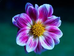 flaQuaor! (m_laRs_k) Tags: olympus omd blackforest germany badherrenalb flower flora monday 7dwf hss slidersunday